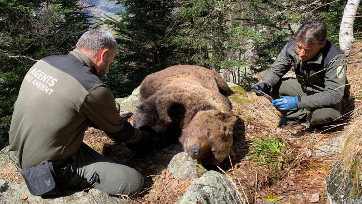 La investigación por la muerte de un oso en la Val d'Aran destapa una red de narcotráfico