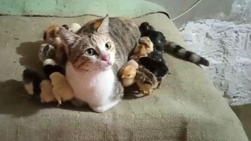 Una pareja de gatos adopta a una decena de pollitos