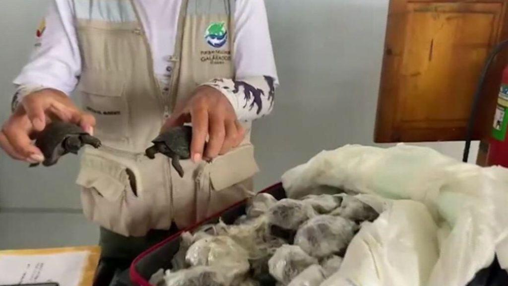 Rescatan 185 tortugas de Galápagos que iban a ser vendidas en el mercado negro