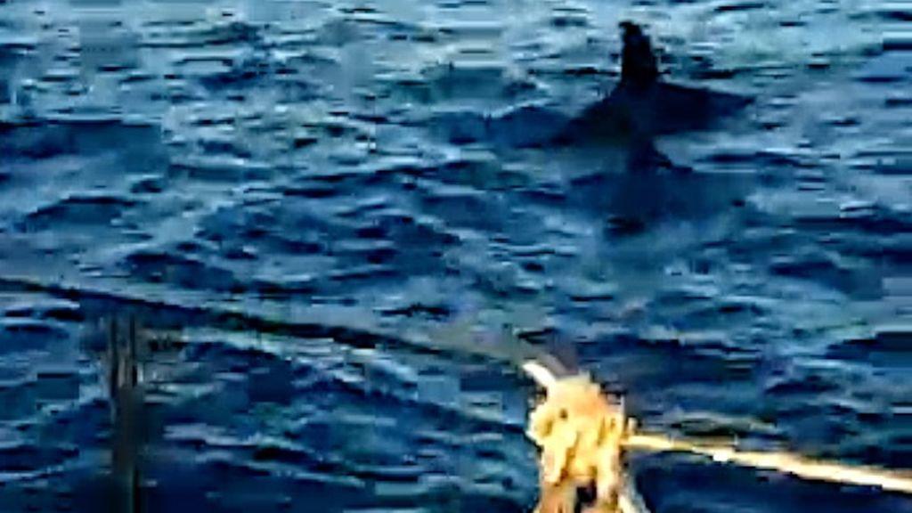 Una orca junto a un velero