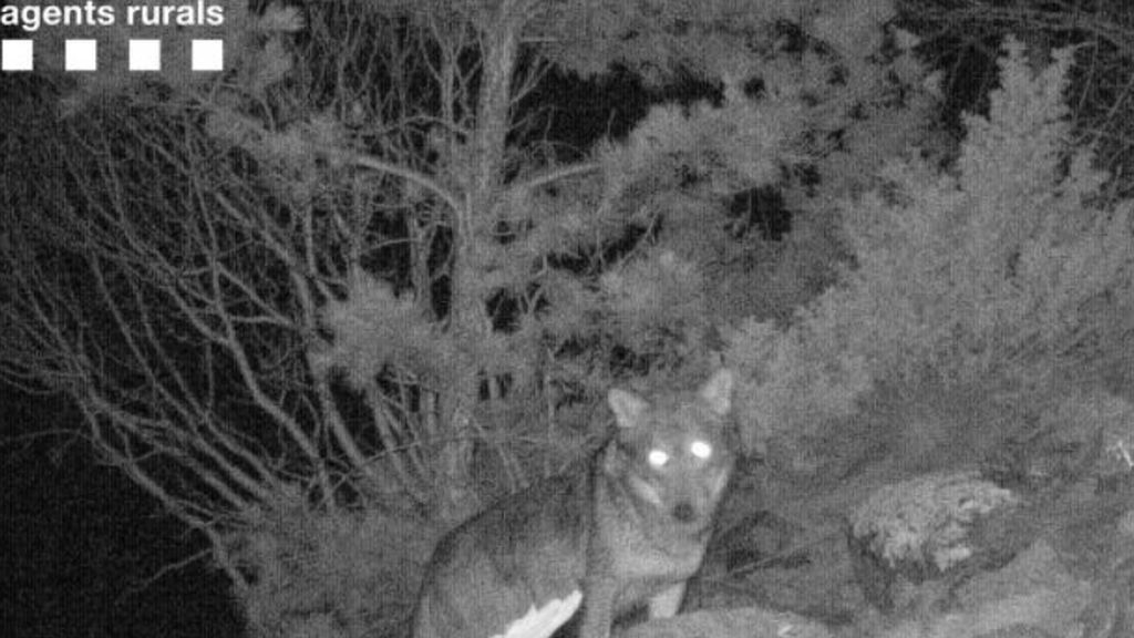 Aparece un lobo en el Parque Nacional Aigüestortes por primera vez en 100 años