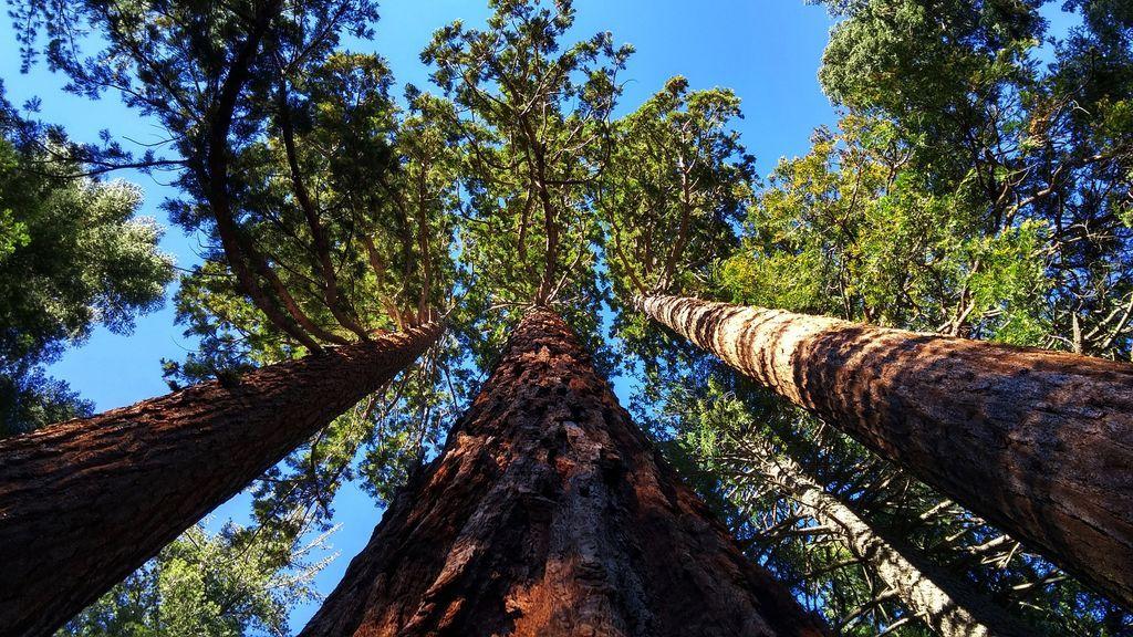 Cómo se llama el árbol más grande del mundo