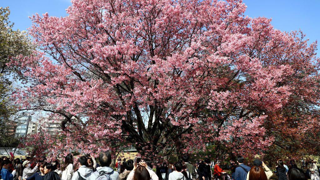 Japoneses contemplan un cerezo en Tokio