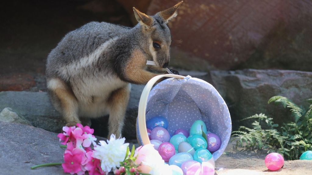 Huevos de Pascua para los koalas y canguros del zoo más famoso de Australia: las divertidas imágenes