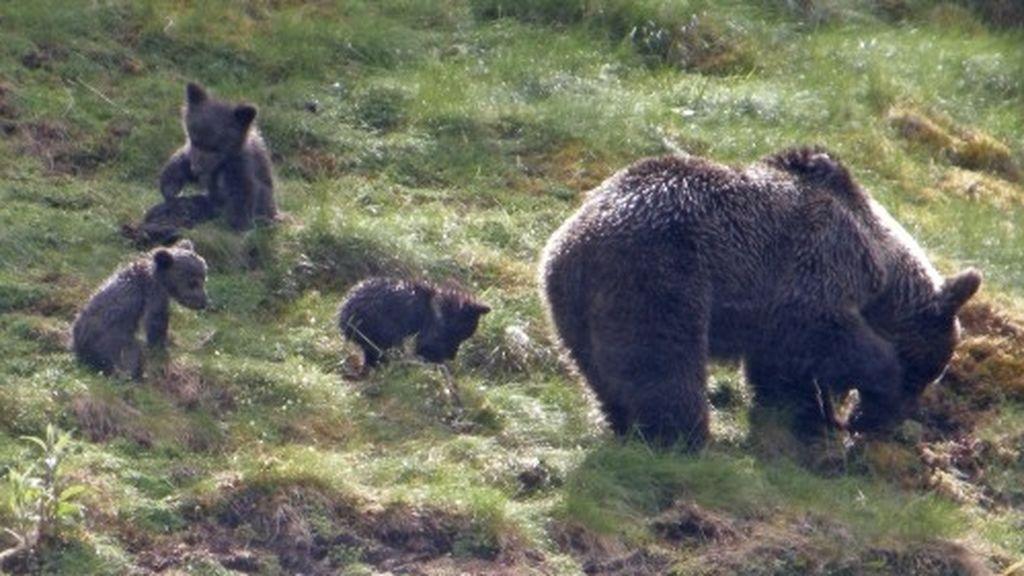 ¡El oso pardo recupera Pirineos! Su población crece hasta la cifra histórica de 64 ejemplares