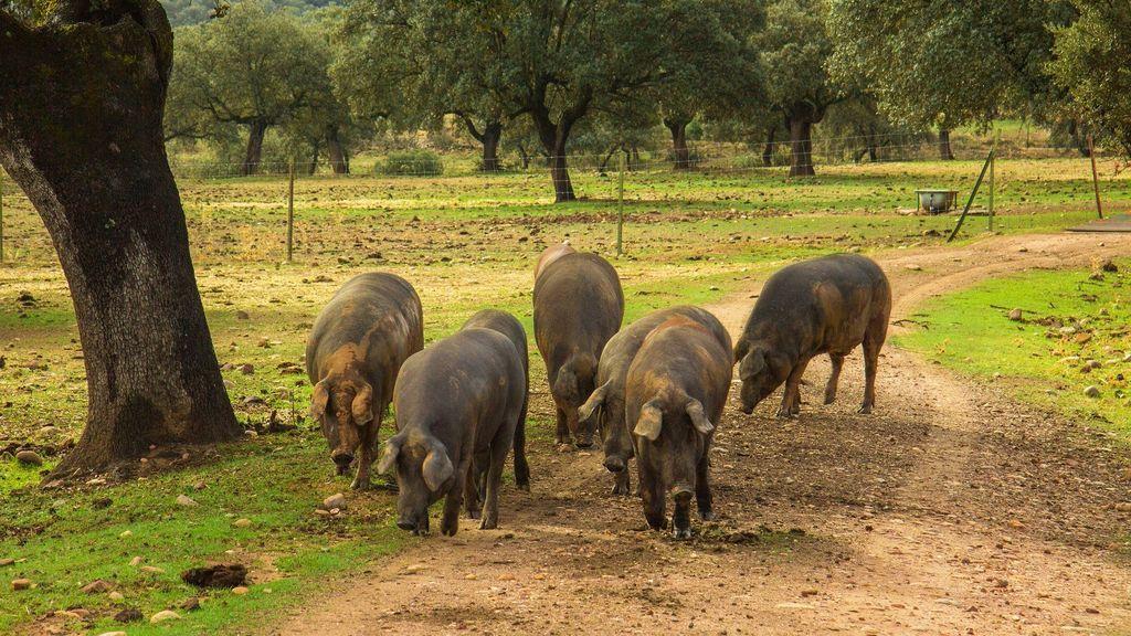 Bautizar a un cerdo ibérico con el nombre de tu ex, una campaña para salvar la dehesa