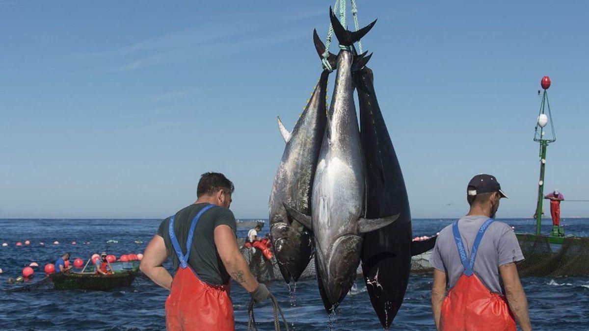 El atún rojo del Estrecho ya era un manjar en la Grecia clásica