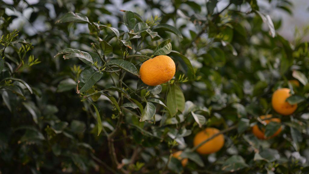 Las naranjas en el árbol
