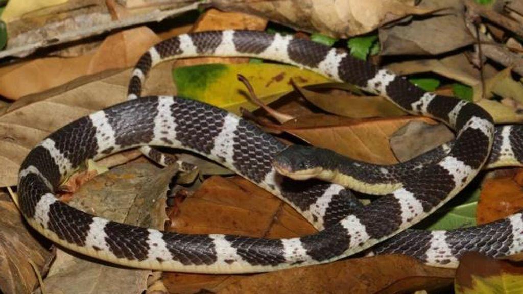 Descubren una nueva especie de serpiente mortal y le dan el nombre de una diosa china