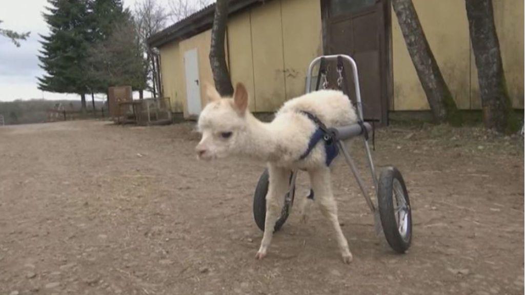 Marie, la alpaca coja, ya tiene su silla de ruedas