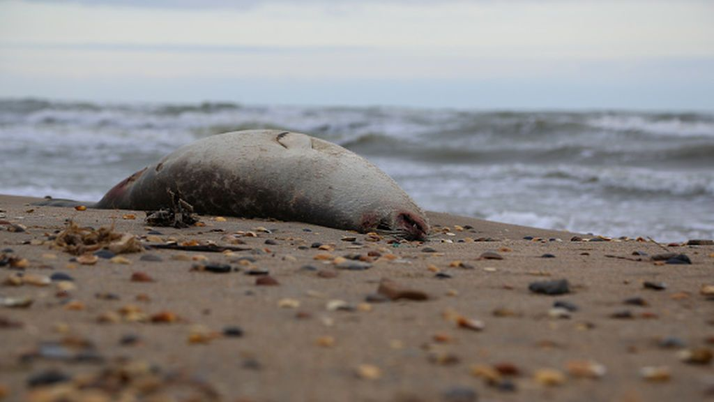 El misterio de las focas decapitadas en las playas británicas