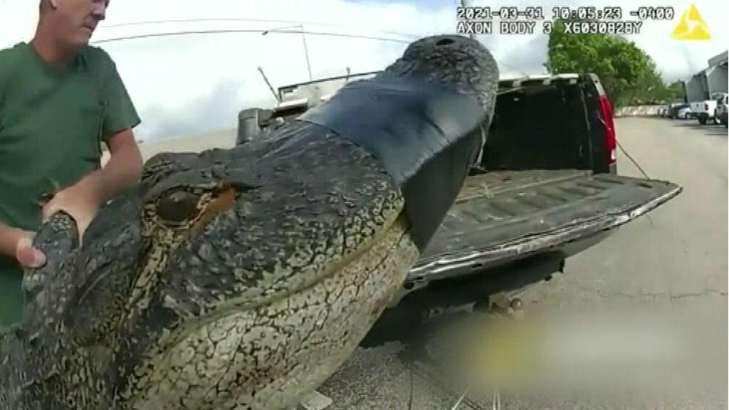 Capturan a un caimán de más de tres metros en un centro comercial de Florida