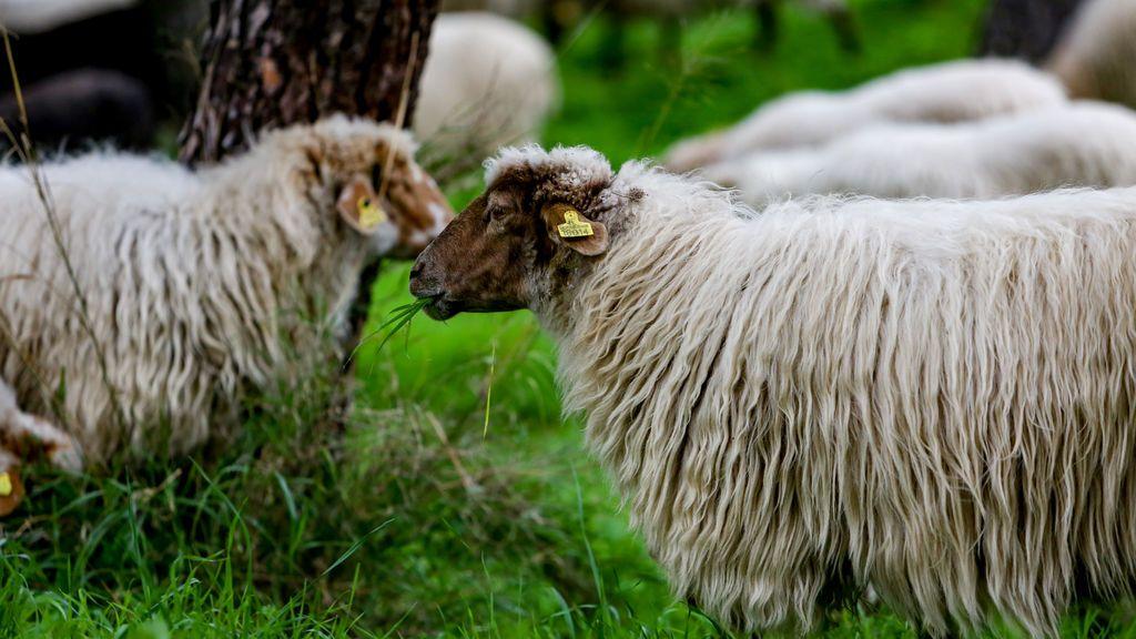Los ganaderos del neolítico modificaban el ciclo reproductivo de las ovejas