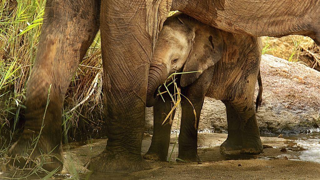 Muere una cría elefante después de ser abandonado por su familia en un zoo de Suecia