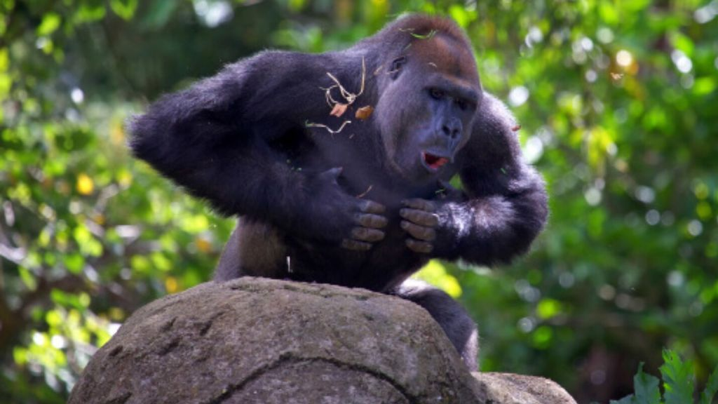 Descubren que los gorilas se golpean el pecho para presumir de lo grandes y temibles que son
