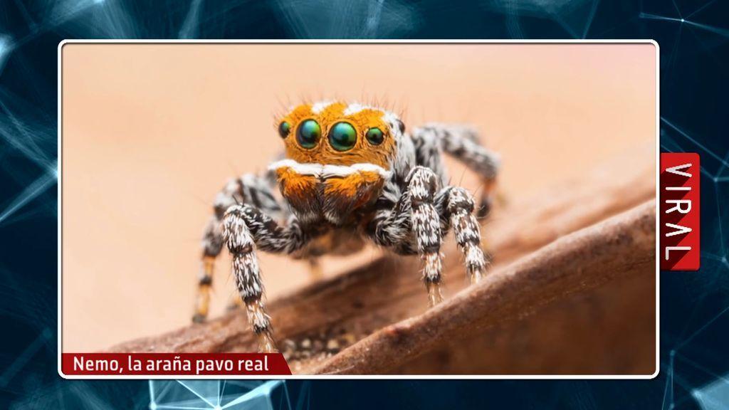 No apto para aracnofóbicos: la pequeña araña que se introduce por tus oídos y tus fosas nasales