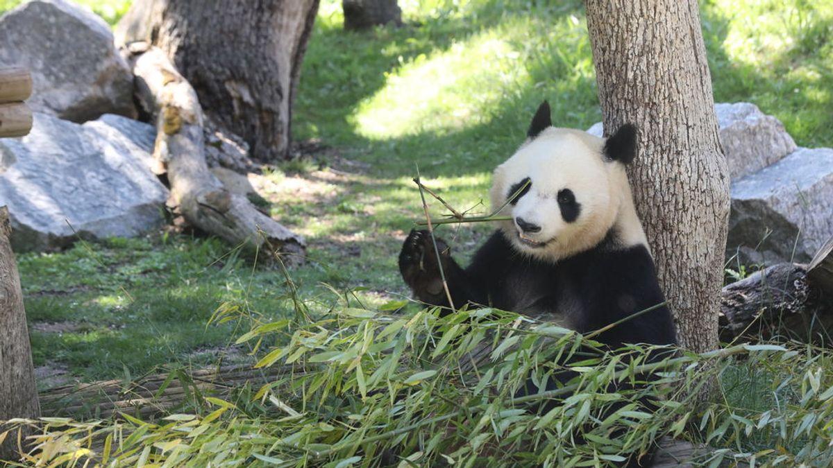Un equipo español insemina por primera vez a una hembra oso panda