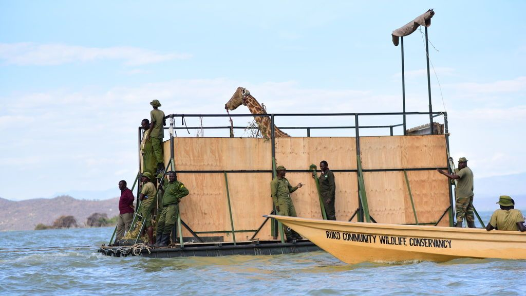 Floating-to-a-new-home-four-of-the-last-giraffes-have-been-rescued-from-Longicharo-island-in-L.-Baringo-Kenya-and-onto-the-mainland-of-Ruko-Community-Conservancy-12-scaled