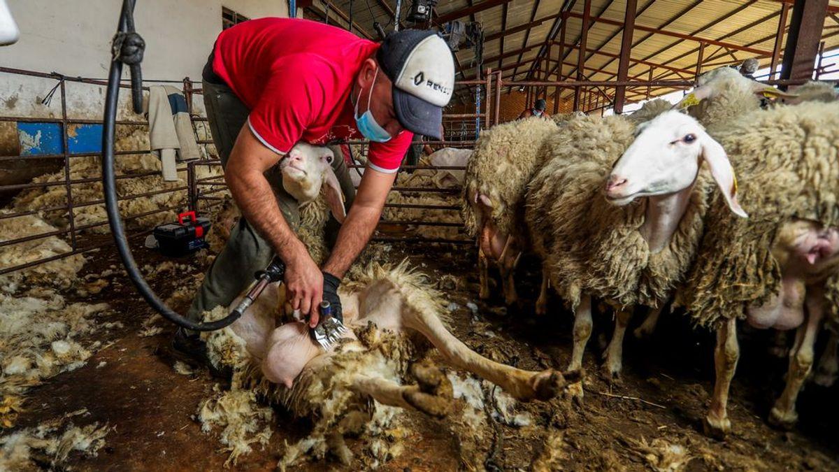 Detectado en Extremadura un brote entre esquiladores llegados de Uruguay