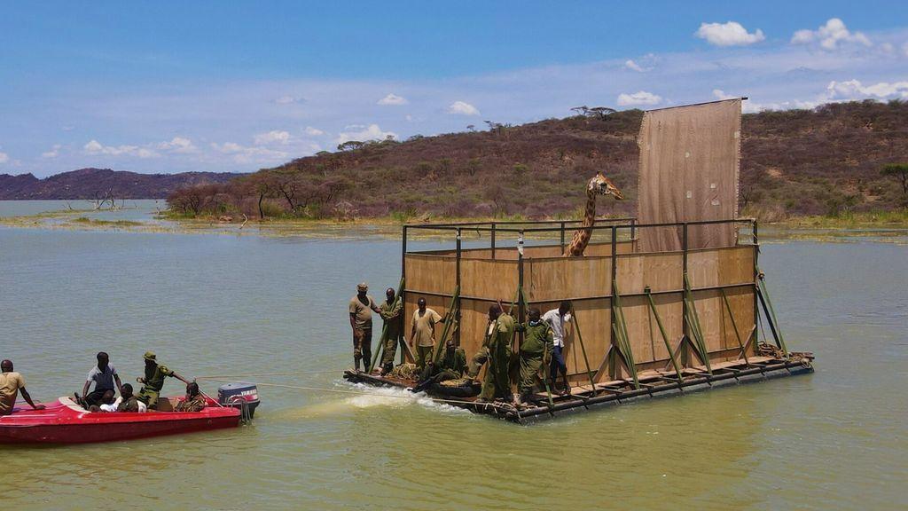 Rescatan a una manada de jirafas de una isla que se hunde tras meses de operación