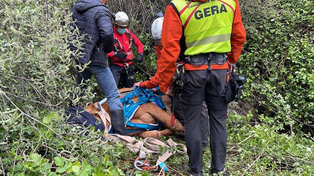 Rescate en helicóptero de una vaca que cayó por un terraplén en la Sierra de Madrid