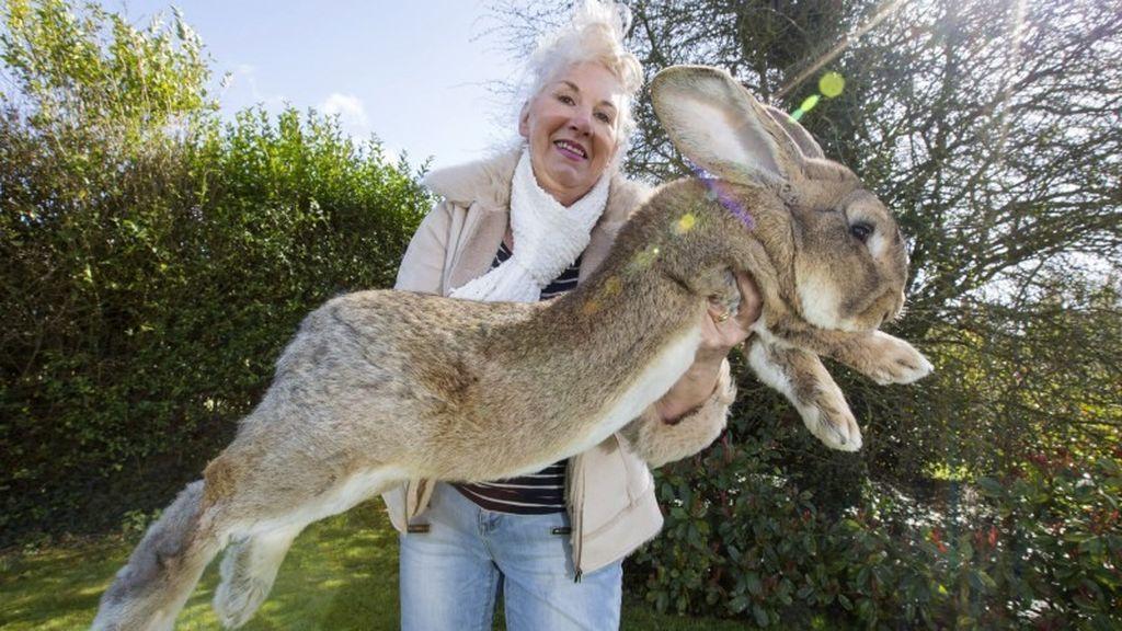 ¿Quién ha robado el conejo más grande del mundo? Conmoción por la desaparición de 'Darius'