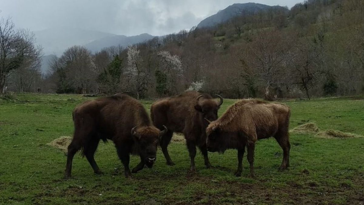 El bisonte europeo, el gran aliado para prevenir los incendios forestales en España