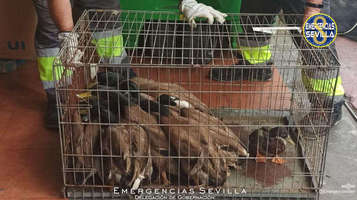 El restaurante chino de los horrores de Sevilla: veinte patos vivos en la cocina en condiciones insalubres
