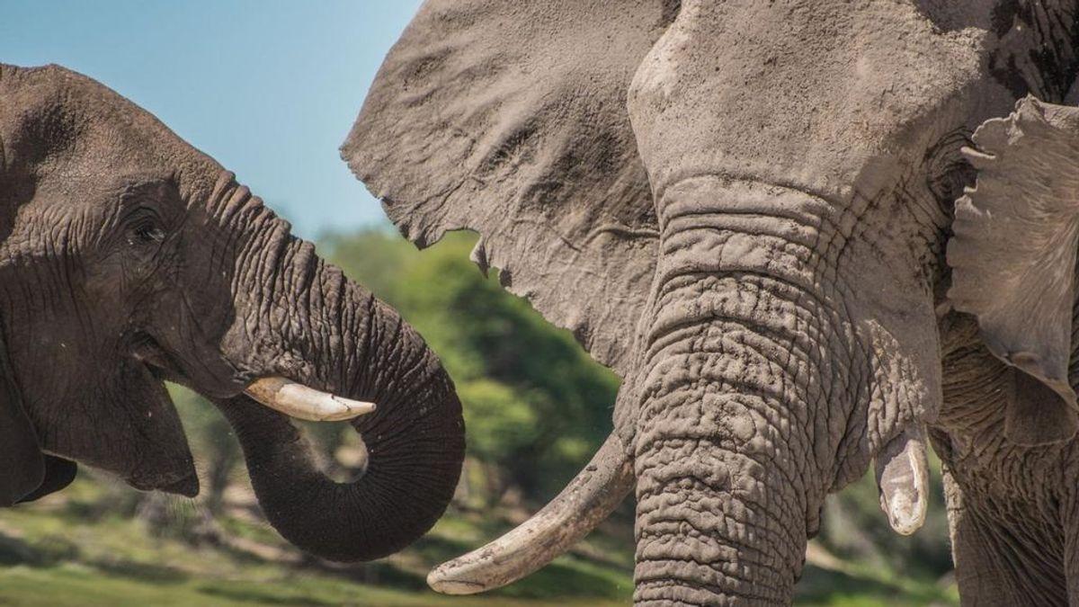 Un presunto cazador furtivo muere aplastado por una estampida de elefantes en Sudáfrica