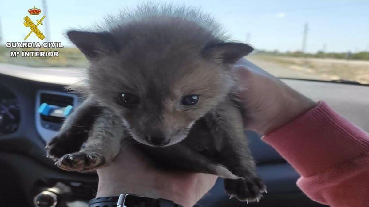 La Guardia Civil rescata a una cría de zorro que se vendía en una web de anuncios por 550 euros en Alicante