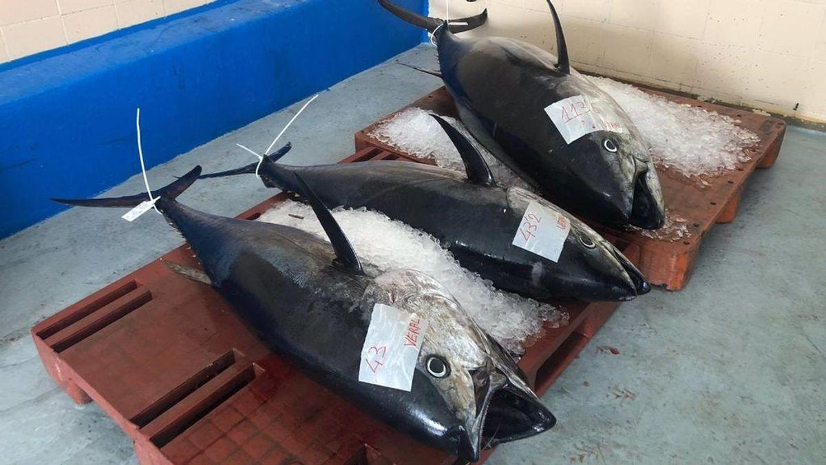Una plaga de atún rojo en el Mediterráneo deja a los pescadores valencianos sin capturas de otras especies