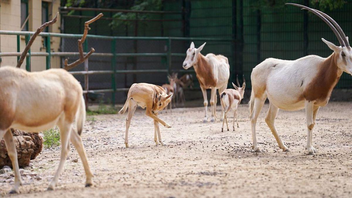 Nacen dos crías de especies extinguidas en su hábitat natural en el Zoo de Barcelona