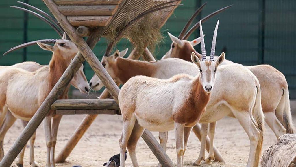 Nace en Barcelona un órix blanco, una especie de antílope extinto en la naturaleza
