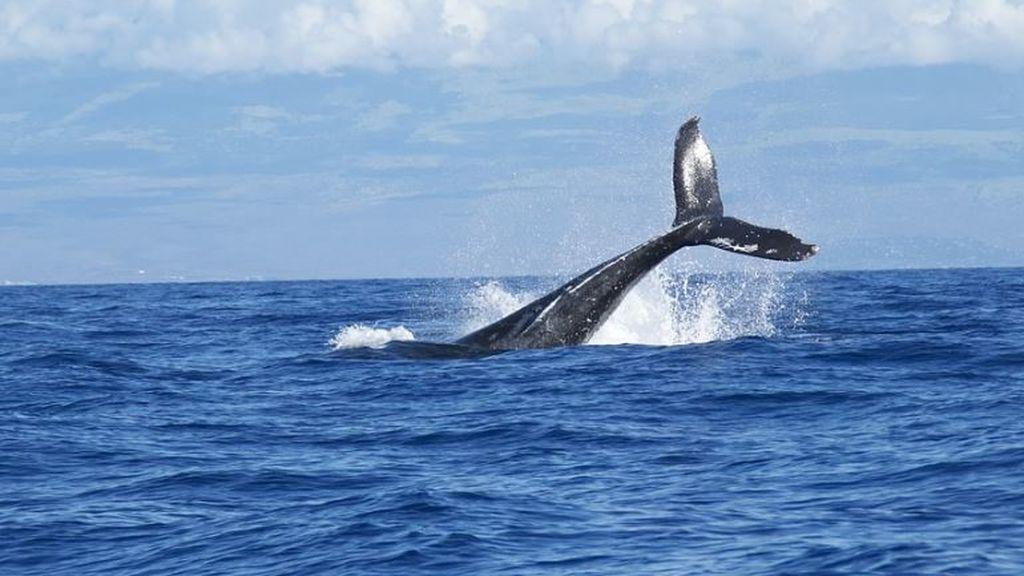 Trece ballenas rorcuales y varios delfines se dejan ver la costa de Barcelona