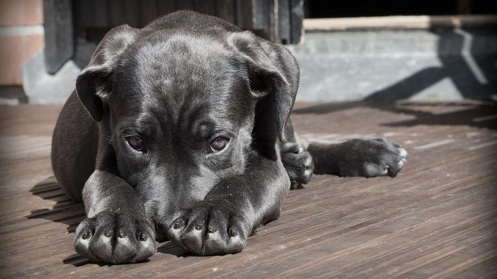 Condenan a un criador de perros a pagar 660 euros por enviar un cachorro enfermo a una cliente de A Coruña