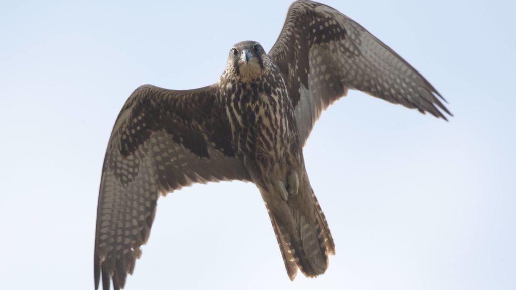 Tatúan a halcones jóvenes para evitar que sean capturados y vendidos en Siberia