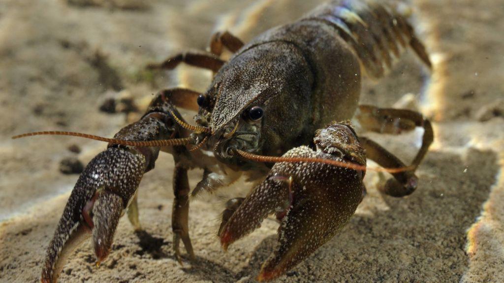 Un patógeno misterioso está matando a los cangrejos de todo el mundo, y por fin sabemos de dónde ha salido