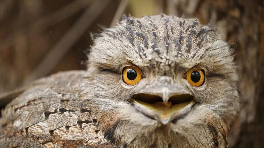 """Una revista científica nombra como el 'pájaro más instagrameable' a este curioso búho con """"boca de rana"""""""