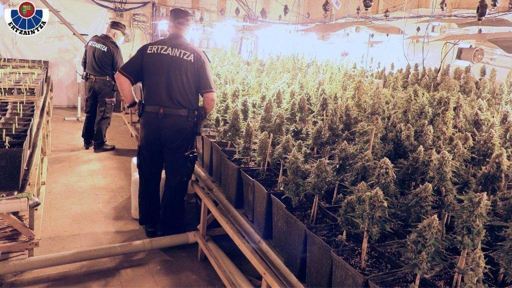 La Ertzaintza desmantela una plantación de marihuana en Tolosa