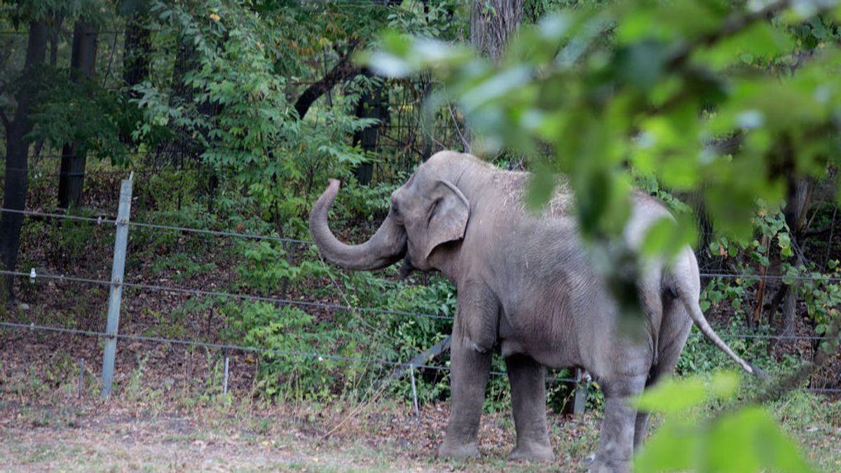 Happy, el elefante encerrado durante 40 años en el zoo de Bronx, pide su libertad a un tribunal de Nueva York