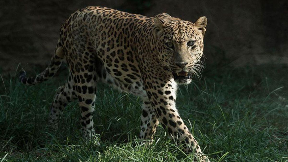 El zoo de Hangzhou busca un leopardo que se escapó hace una semana y del que no informó de su fuga