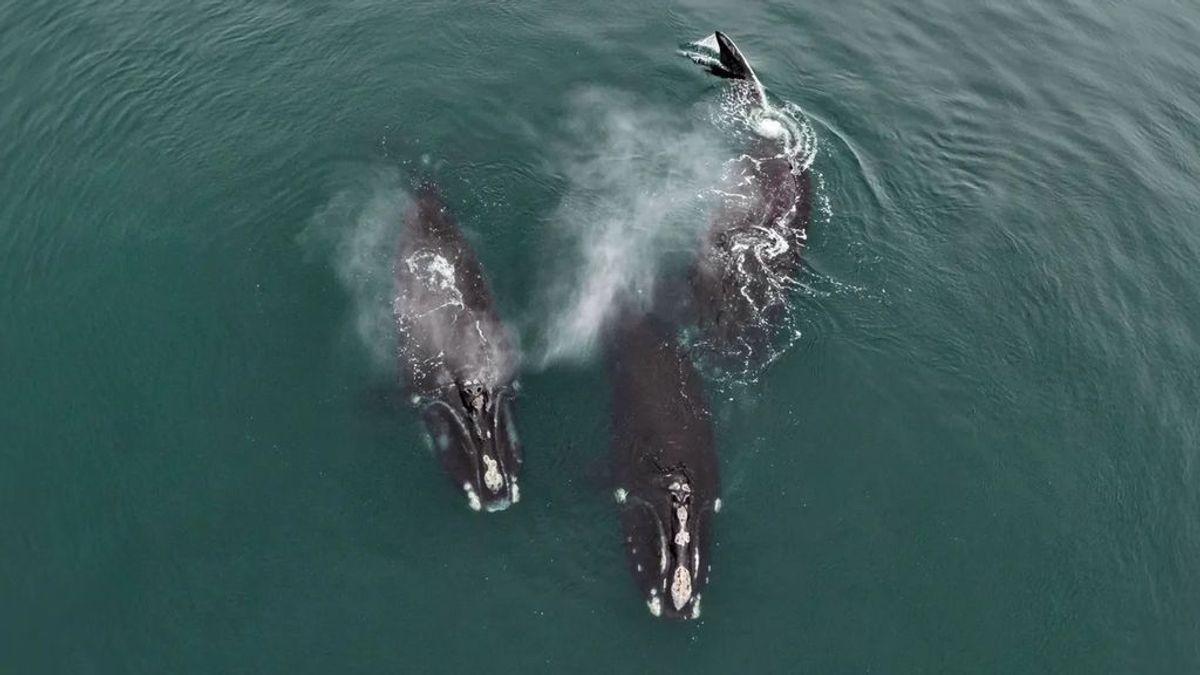 """El """"abrazo"""" viral de dos ballenas en peligro de extinción en el Atlántico"""