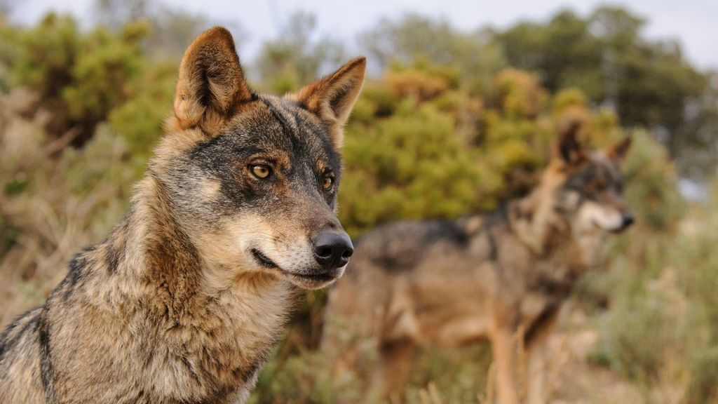 El Gobierno aplaza hasta final de año prohibir la caza del lobo para evitar un vacío legal en las comunidades autónomas