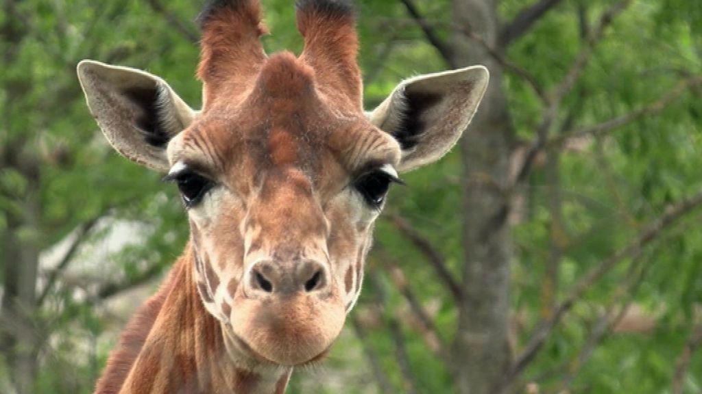 Los animales del zoo de París, preparados para recibir al público el 19 de mayo tras seis meses sin visitas