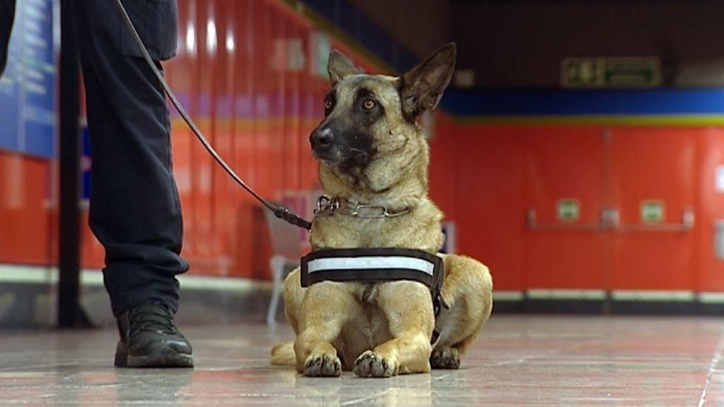 Adiestran a perros policía en el Metro de Madrid para detectar droga con la mayor precisión