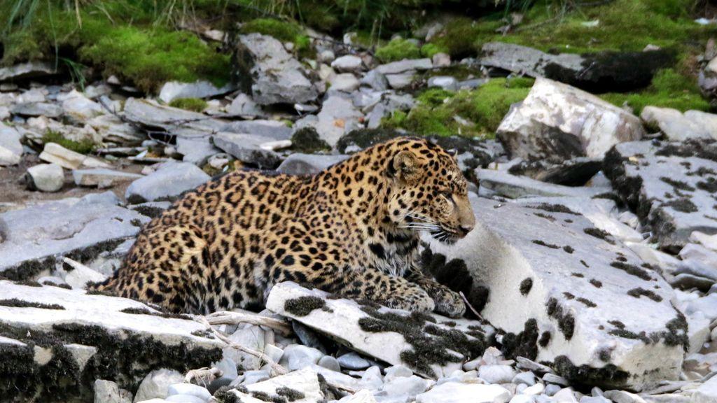 Despliegue masivo para encontrar a un leopardo fugado de un parque de safari en China
