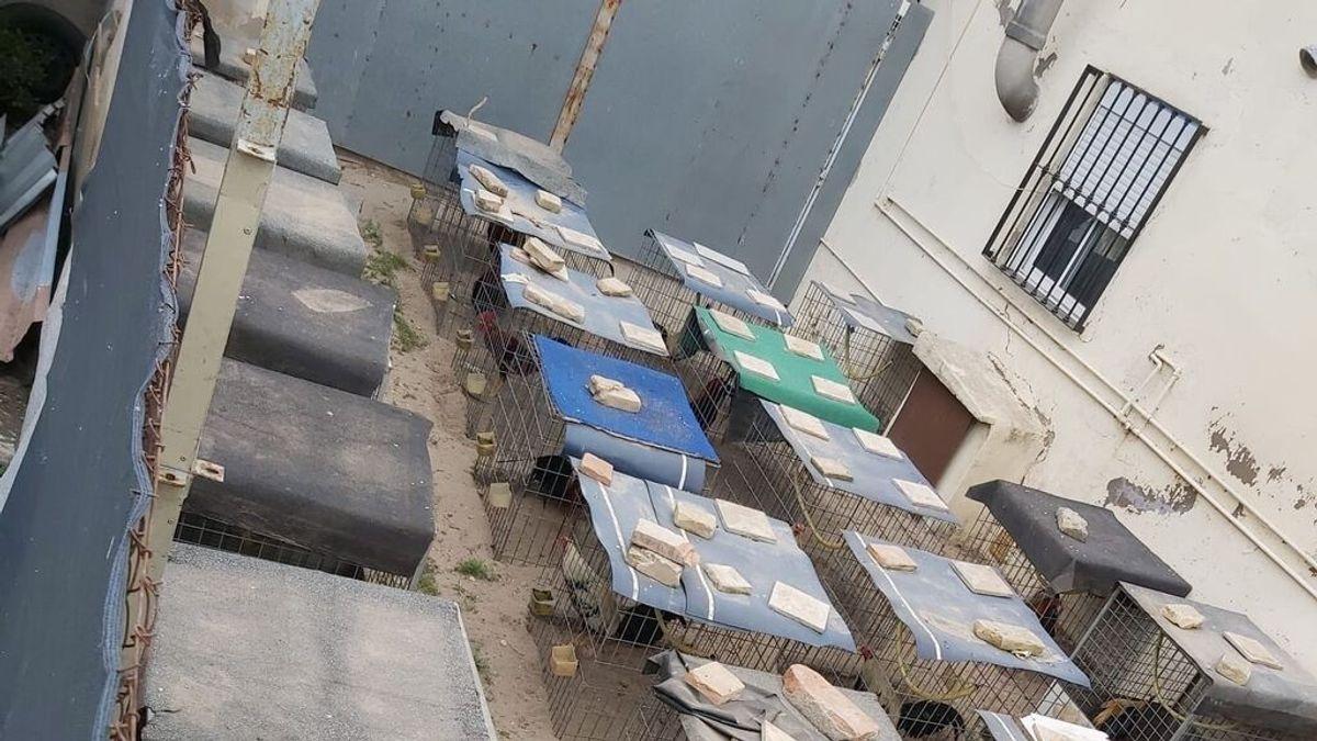 Confiscan más de cincuenta gallos de pelea en una casa abandonada en Valencia
