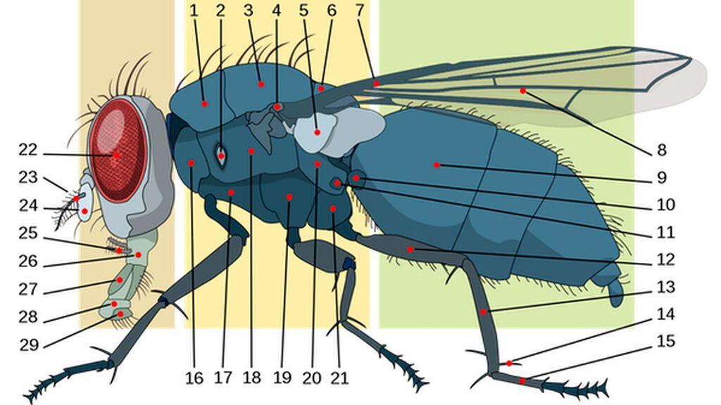 Anatomía de una mosca