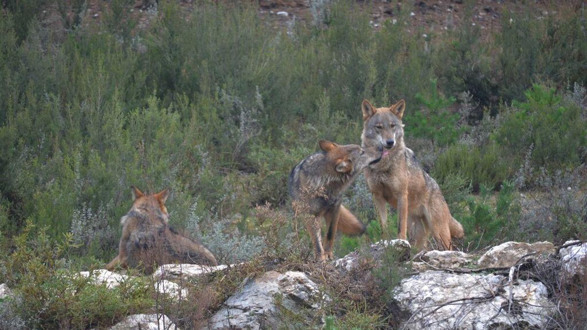 Asturias, Castilla y León, Galicia y Cantabria recurrirán al Supremo si el Gobierno prohíbe la caza del lobo