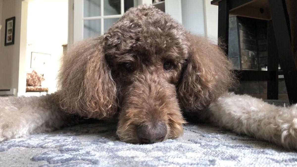 Un caniche gigante de 14 años, primer perro asintomático de la variante británica en España